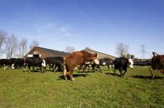 ABCOUDE - Op de biologische boerderij Den Hartig in Abcoude mogen de koeien vrijdag voor het eerst sinds de herfst weer de wei in. De dieren maken bokkesprongen van plezier. Zaterdag gaat de lente officieel in. ANP VALERIE KUYPERS