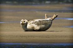 Een zeehond rust op een zandbank in de Waddenzee bij Den Oever. De werelderfgoedlijst van Unesco wordt deze week uitgebreid. De commissie voor werelderfgoed vergadert vanaf maandag in de Spaanse stad Sevilla, onder meer over toelating van de Waddenzee tot de prestigieuze lijst. ANP KOEN VAN WEEL