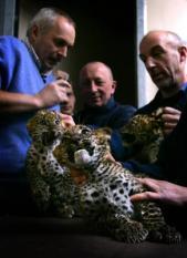 ARNHEM - Een Sri Lanka panterdrieling wordt woensdag onderworpen aan een medische controle in het Arnhemse dierenpark Burgers' Zoo. Dierenarts Henk Luten (L) ontwormt de pantertjes, trekt haren voor DNA-onderzoek en ent de dieren in tegen katten- en niesziekte.  ANP PHOTO VINCENT JANNINK