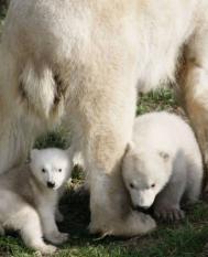 RHENEN - De ijsbeertweeling, die in december ter wereld kwam, snuift dinsdag voor het eerst de buitenlucht op in Ouwehands Dierenpark in Rhenen. Op 14 december schonk ijsbeer Huggies het leven aan de twee jongen; Walker (R) en Swimmer (L). ANP RICK NEDERSTIGT