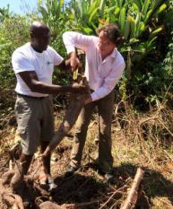 SURINAME - Minister van Ontwikkelingssamenwerking, Bert Koenders oogst woensdag cassave op de aanplant van Nabesing Ajeki tijdens zijn werkbezoek aan Suriname. Ajeki heeft krediet gekregen uit het Agrarisch Kredietfonds (AKF). De minister bezoekt projecten in Suriname die uit de verdragsmiddelen zijn gefinancierd. ANP PHOTO EDWARD TROON