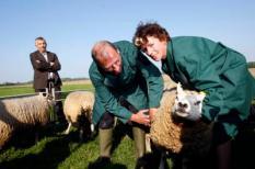 WERKENDAM - Minister Gerda Verburg van Landbouw, Natuur en Voedselkwaliteit (LNV) bezoekt woensdag maatschap M.C. de Regt in Werkendam, waar het eerste schaap wordt gevaccineerd tegen blauwtong.Verburg houdt het schaap dat ingeent wordt vast. ANP PHOTO ROBERT VOS