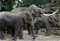 NLD-20031013-EMMEN: Radza (M), de grootste Aziatische olifant in Europa, laat maandag zijn slagtanden zien. Naast hem twee vrouwtjes in het Noorder Dierenpark in Emmen. Radza sloopt zijn onderkomen in het Noorder Dierenpark. Het park is gedwongen het onderkomen van de olifanten aan het dier aan te passen, omdat Radza al veiligheidscameraás heeeft vernield en hekken van zijn nachtverblijf heeft opgetild. Het dier heeft een schofthoogte van 3,15 meter en een gewicht van 7200 kilo. Volgens een dierenverzorger van het park is de olifant groter dan verwacht: hij zou rond de 5700 kilo zijn. Radza, die afkomstig is uit een dierentuin in de Letse hoofdstad Riga, kwam vorige week zaterdag in Emmen aan. De olifant werd naar het park overgebracht om voor nageslacht te zorgen. ANP FOTO/OLAF KRAAK