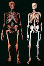epa00862730 (ATTENTION BLOCKING PERIOD until 15 November 2006, 19:00 CET)(FILE) This undated file picture, released on Wednesday 15 November 2006 by the Max Planck for Evolutionary Anthropology in Leipzig, Germany, shows a Neanderthal man skeleton (L) and a human skeleton (R). The picture was released by the Max Planck Institute after its anthropologists deciphered important genotypes of the Neanderthal man.picture by: Ken Mowbray, Blaine Maley, Ian Tattersall and Gary Sawyer, American Museum of Natural History (ATTENTION BLOCKING PERIOD until 15 November 2006, 19:00 CET)  EPA/AMERICAN MUSEUM NATURAL HISTORY