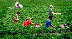 GOIRLE - Scholieren en studenten plukken dinsdag aardbeien op een veld in Goirle, zij doen dit 4 uur per dag. Vakantiewerk wordt onder jongeren steeds populairder. Deze zomer gaat 72 procent van de scholieren en studenten aan de slag, terwijl vorig jaar nog ruim zes op de tien de handen uit de mouwen staken. ANP PHOTO ROBIN UTRECHT