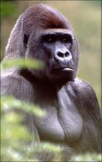 NLD-20050815-APELDOORN: Wie Apenheul zei, zei ©Bongo©. De afgelopen dertig jaar vergaapten meer dan tien miljoen Nederlanders zich aan de imposante baas van de gorilla©s in Apeldoorn. Maar de 200 kilo zware zilverrug is niet meer. Bongo overleed, na een ziekte van nog geen anderhalve dag, zondag op 33-jarige leeftijd, maakte de Apenheul maandag bekend. Foto©s zijn vrij van rechten, mits gebruikt bij bovenstaand bericht over het overlijden van Bongo in Apenheul. Vermelding bij gebruik: 'Foto Apenheul: gorilla Bongo'.