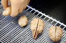 UTRECHT - In de Universiteit Utrecht worden hersenen geprepareerd die vanaf 23 april bij science center NEMO in Amsterdam zijn te bezichtigen. De hersenen maken deel uit van de nieuwe tentoonstelling 'Reis door de geest'. Geprepareerde hersenen van katten, een varken en een aap (v.l.n.r.) worden door plastinator Henno Hendriks van de Universiteit Utrecht laten zien. ANP PHOTO KOEN VAN WEEL