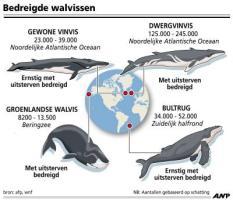 AFBEELDING: bedreigde walvissen. TREFWOORDEN: dieren, natuur, water, zee, oceaan, walvis, vis, zoogdier, zwemmen, uitsterven, wnf, bedreigd, flora, fauna. FORMAAT: 100 x 87 mm. ANP INFOGRAPHICS. TIJD: 15:00 uur, 22-06-2009.