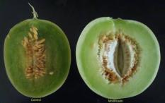 epa02403588 A handout made available on 20 October 2010 by Center of Investigations and Advance Studies of Mexican National Polytechnic Institute (Cinvestav, as in Spanish) shows a control melon (L) and a modified 'gota de miel' melon (R) from a investigation of a group of scientists in Mexico City, Mexico. According to the academician Miguel Angel Gomez Lim, who leads the investigations of the Department of Genetic Engineering, the team achieved to extend the life of melons in real time until 60 days without damage, after a enzyme of that fruit was deactivated.  EPA/CINVESTAV / HANDOUT EDITORIAL USE ONLY
