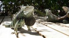 Leguanen op Aruba