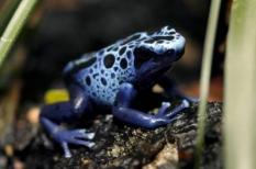 epa01178903 A blue poison arrow frog (Dendrobates azureus) is seen in the Zoo of Zurich, Switzerland, 21 November 2007. Dendrobates azureus is a type of poison dart frog found in South America, specifically in the Sipaliwini District in Suriname.  EPA/ALESSANDRO DELLA BELLA