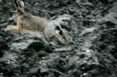 NLD-20041221-WIERINGERMEER: Een haas vlucht voor de jagers. In de tijd voor Kerst wordt er volop  gejaagd op hazen, fazanten en eenden in de Wieringermeer. ANP FOTO/KOEN SUYK