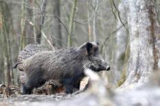 Een wild zwijn met haar vier jongen in het bos.