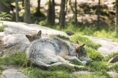 Een Amerikaanse wolf (Canis lupus lycaon) ligt met haar jong in de zon.