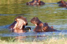 Twee jonge nijlpaarden oefenen al spelenderwijs een aantal vechttechnieken.