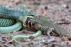 39388949 - the golden tree snake (chrysopelea ornata) is eating butterfly lizard