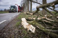2016-11-21 16:35:44 Blijham - Bomen langs de Tweekarspelenweg tussen Blijham en Winschoten waren aangetast door de ziekte essentaksterfte. Dit is een schimmel waardoor de boom ziek en zwak wordt. Als ook de wortels worden aangetast, is er het gevaar dat een boom omvalt. Daarom zijn alle 1300 bomen uit voorzorg gekapt. ANP COPYRIGHT HUISMAN MEDIA