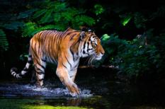 32148150 - tiger in water.
