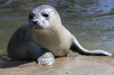 2017-07-03 11:14:50 NUENEN - Donderdag 29 Juni is er een zeehondje geboren in het dierenpark 'Dierenrijk Nuenen'. Het zeehondje heeft nog geen naam gekregen omdat het geslacht nog onbekend is. COPYRIGHT NIELS WENSTEDT / ANP
