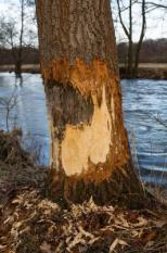 18547027 - a tree damaged by a beaver