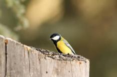 small bird ( parus major, great tit ) foraging  at seed feeder
