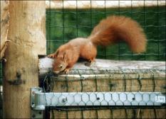 PERSSUPPORT FOTO: Center Parcs zorgt voor huisvesting van in beslag genomen rode eekhoorns, die worden ondergebracht in het park Het Meerdal bij Horst (L). Het gaat uitsluitend om beschermde dieren die, doordat zij illegaal als huisdier zijn gehouden, niet meer in staat zijn zich in de natuur te handhaven. Zie APS persbericht heden. Niet het ANP, maar de afzender van de foto is verantwoordelijk voor de foto en het bijschrift. ANP PERSSUPPORTFOTO.Foto: Henk van der Plas.VRIJ VAN RECHTEN BIJ REDACTIONEEL GEBRUIK