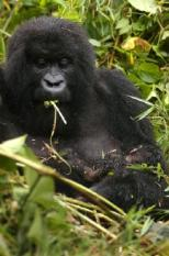 epa000515681 (FILES) Gukunda, a female adult mountain gorilla, with his baby born the 12th of June in this picture taken on Thursday 23 June 2005 in the Volcanos National Park in Rwanda. Some of the great apes - chimps, gorillas, and orangutans - could be extinct in the wild within a human generation, a new assessment the UN's environment and biodiversity agencies concludes, it was reported Thursday 01 September 2005.  EPA/RICKY GARE