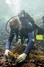 ARNHEM - Een duiker van Burgers Zoo plaatst het 1000ste stuk koraal. Biologen in het Arnhemse dierenpark Burgers' Zoo zijn er in geslaagd duizenden stukken steen- en zacht koraal te klonen. De gekloonde koraaldelen zijn donderdagmorgen door een duiker geplaatst in het koraalrifbassin in de Ocean, het tropische aquarium met 8 miljoen liter zeewater. Burgers' Zoo bouwt in de Ocean aan een wereldwijd uniek levend koraalrif, aldus een woordvoerder. De dierentuin geeft ook delen van het zelfgekweekte koraal weg aan andere aquaria in Europa. ANP PHOTO VINCENT JANNINK