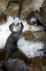epa00776656 Short-cleaved otters enjoy an ice bath at Birmingham National Sea Life Centre, United Kingdom Wednesday 19 July 2006, during the heatwave. Temperatures are expected to reach 36 degrees Celsius on one of the hottest days ever.  EPA/Susannah Ireland UNITED KINGDOM AND IRELAND OUT