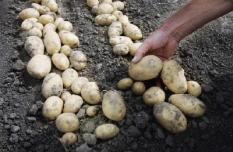 NLD-20050907-EMMELOORD: In Emmeloord op Flevoland vindt woensdagmiddag het internationale aardappelevenement Potato 2005 plaats. Op de Potato 2005 komen aardappeltelers uit de hele wereld bijeen voor de nieuwste snufjes en ontwikkelingen op het gebied van de aardappelteelt. Op 30 hectare land worden tot en met 9 september diverse demonstraties gehouden. Op de aardappelbeurs, een keer in de 5 jaar, zijn bijna vijftig rassen te zien. ANP FOTO/JUAN VRIJDAG