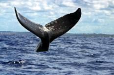 A hump back whale¬s tail appears near the Brazilian northeastern city of Mata de Sao Joao in the coastal region of Bahia on Tuesday, 16 September 2003. The cetacean family passes this region between June and November to mate and nurse its children. After this period the whales return to the Antarctic. The ¬Hump Whale Institute¬ for the study of this species and the promotion of ecological tourism was founded in Mata de Sao Joao. EPA PHOTO/EFE/Caetano Barreira//