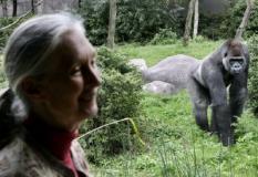 ROTTERDAM - Donderdag wordt in diergaarde Blijdorp in Rotterdam een permanente expositie over het werk van de wereldberoemde Chimpansee onderzoekster Jane Goodall geopend. De opening wordt door Goodall zelf verricht.  ANP PHOTO ROBERT VOS