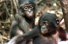 STEP00052142347ARDC - 20000521 - KINSHASA, DEMOCRATIC REPUBLIC OF CONGO : Two baby Bonobo chimpanzees 21 May 2000 at the Bonobo sanctuary in Kinshasa. Due to deforestation and human crowding, the Pan Paniscus, as it is known by the scientists, is an endangered species of chimpanzee. The animals only live in a small region in the primary forest on the Congo river in the Democratic Republic of Congo. EPA PHOTO AFP/DESIREY MINKOH/DM-al