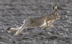 WIERINGERMEER - Hazenjacht met honden in de Wieringermeer. Jagers hebben het over 'het haas', maar de Haas is grammaticaal correct. Lampe, Mummelman of Cuwaert zijn enkele bijnamen, die meestal ook alleen door jagers worden gebruikt. In de maand december wordt er, ook met het oog op de naderende kerst, volop op hazen gejaagd. Na de invoering van de Flora- en faunawet is de haas een van de zes soorten die als 'wild' bejaagd mogen worden. De jachttijd loopt van 15 oktober tot en met 31 december. Gedurende deze tijd mogen de jagers de hazen in hun jachtveld in feite onbeperkt bejagen. Hoeveel dieren per jaar neergelegd worden, is onbekend. Uit oudere gegevens blijkt dat er jaarlijks per 100 hectare 5 tot wel 25 dieren (gemiddeld over Nederland 8 tot 12) werden geschoten. Jagers gaan ervan uit dat per terrein 50 tot maximaal 60% van het herfstbestand geschoten kan worden, zonder dat daardoor de populatie van het volgende seizoen negatief wordt beinvloed. In de praktijk komt het er op neer dat de jagende mens de grootste vijand is van de haas. ANP PHOTO KOEN SUYK