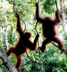 *** EMBARGO TOT ZATERDAG 2 APRIL 2005 00.00 UUR *** IND-20050330-BORNEO: Het jaar 2005 staat voor het Wereld Natuur Fonds (WNF) in het teken van Borneo. Het tropische regenwoud van dit door Indonesie, Maleisie en Brunei gedeelde eiland wordt ernstig bedreigd door illegale houtkap en de aanleg van palmolieplantages. Als de verwoesting niet stopt zijn de bossen van Borneo volgens de Wereldbank in 2020 vrijwel geheel verdwenen. Bossen zijn cruciaal voor het voortbestaan van tal van zeldzame planten, bomen, vogels en dieren als de orang-oetan. Een van de eerste stappen is eind 2004 al gezet toen de veenmoerasbossen in Sebangau werden aangewezen als nationaal park en daarmee een beschermde status kregen. Stichting BOS (Borneo Orangutan Survival foundation) ontfermt zich over de orang-oetangs die illegaal bij mensen thuis woonden nadat de moeders meestal zijn vermoord in het regenwoud. De mensapen worden nadat ze geleerd is voor zichzelf te zorgen, teruggebracht naar de tropische regenwouden op Borneo. ANP FOTO/KOEN SUYK