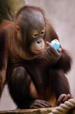 RHENEN - De dierverzorgers van Ouwehands Dierenpark in Rhenen verstoppen vrijdag paaseieren voor hun beesten. Een Orang Oetan bekijkt een blaw paasei vrijdagmiddag. Onder andere mandrils, stokstaartjes, wasberen en kleine panda's mogen op Goede Vrijdag al op zoek gaan naar de traditionele paaslekkernij. Het verstoppen van paaseieren is een vorm van verrijking voor dieren die achter hekken leven. Door de eitjes te verstoppen worden de dieren gestimuleerd hun natuurlijke gedrag van wroeten en graven te vertonen. Volgens Ouwehands Dierenpark reageren de dierentuinbewoners enthousiast op zoeken naar verstopt voedsel. ANP PHOTO VINCENT JANNINK