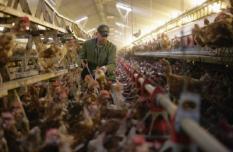 ANGEREN - Pluimveehouder Roelofs uit Angeren controleert maandag zijn 20.000 scharrelkippen. Die dieren moeten sinds dit weekend noodgedwongen binnenblijven uit vrees voor de vogelgriep. Het ministerie van Landbouw heeft zaterdagmiddag met onmiddellijke ingang een zogenoemde afschermplicht verordonneerd in reactie op het geval van vogelgriep dat in Groot-Brittannie is geconstateerd. Dat betekent dat pluimveehouders en particulieren hun kippen, kalkoenen en andere vogels in afgeschermde hokken moeten houden. ANP PHOTO VIDIPHOTO