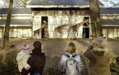 Amsterdam Net als vorig jaar bood Financieel Dienstverlener RVS de mogelijkheid om op 1 Januari gratis naar de dierentuin te gaan . Bijna 100.000 bezoekers profiteerden van deze aanbieding zo als ook dierentuin Artis waar het vooral bij de jonge Giraffe's een drukte van belang was om tien uur in de ochtend stonden de bezoekers al voor de ingang te wachten op deze Nieuwjaarsochtend ANP PHOTO PERSSUPPORT COMM Foto en bijschrift vallen buiten de redactionele verantwoordelijkheid van de Algemene Nieuwsdienst van het ANP. Foto is vrij van rechten en mag alleen redactioneel gebruikt worden in de context van het geleverde bijschrift.