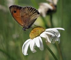 VLAARDINGEN - Een bruinzandoogje zit zondag op een margriet in de vlinderweide bij kinderboerderij Holywood in Vlaardingen. Vlinderliefhebber Ben van As zoekt en telt zondag vlinders. In het weekend worden in Italie, Zwitserland, Duitsland en Nederland de eerste internationale vlinderdagen gehouden, waarbij vrijwilligers vlinders tellen en registreren. ANP PHOTO ROBERT VOS