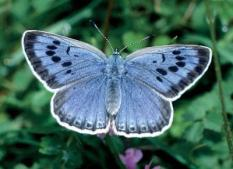 epa00156005 Handout photo of the large Blue butterfly, which became extinct in Britain in 1979. Scientists have revealed on Thursday, 18 March 2004, dramatic declines in British plant, bird and butterfly populations may herald a global disaster similar in scale to the one that wiped out the dinosaurs. Data gathered by 20,000 volunteers over 40 years and closely analysed by scientists provide one of the most most convincing clues so far that the world is heading for a new mass extinction. EPA/Robert Thompson / Butterfly Cons UK AND IRELAND OUT