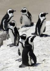 South Africa / Zuid Afrika: pinguins op de kust ten zuiden van Kaapstad