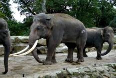 NLD-20031013-EMMEN: Radza (M), de grootste Aziatische olifant in Europa, laat maandag zijn slagtanden zien in het Noorder Dierenpark in Emmen. Radza sloopt zijn onderkomen in het Noorder Dierenpark. Het park is gedwongen het onderkomen van de olifanten aan het dier aan te passen, omdat Radza al veiligheidscameraás heeeft vernield en hekken van zijn nachtverblijf heeft opgetild. Het dier heeft een schofthoogte van 3,15 meter en een gewicht van 7200 kilo. Volgens een dierenverzorger van het park is de olifant groter dan verwacht: hij zou rond de 5700 kilo zijn. Radza, die afkomstig is uit een dierentuin in de Letse hoofdstad Riga, kwam vorige week zaterdag in Emmen aan. De olifant werd naar het park overgebracht om voor nageslacht te zorgen. ANP FOTO/OLAF KRAAK
