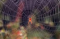 Kruisspin in zijn spinnenweb.