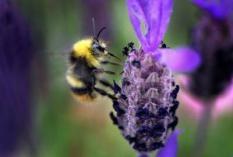 NLD-20040602-DORDRECHT: Een herkenbaar plaatje voor mensen met een tuin: deze jonge werkbij is druk aan het werk op een vlinderlavendel. ANP FOTO/ROBERT VOS