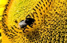 PARISOT - Bijen en hommels op zonnebloemen in het Franse landschap. ANP PHOTO XTRA KOEN SUYK