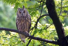 epa00161782 Undated recent picture of a protected bird of Hungary, the long-eared owl sitting on a tree at Bekes forest. EPA/STR