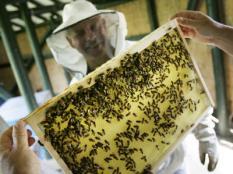 LEIDEN - Door het mooie weer zijn het voor de leden van Imkervereniging Leiden en hun bijen drukke tijden. ANP PHOTO KOEN SUYK