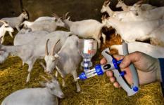 VINKEL - Bij het melkgeitenbedrijf van Jan en Liesbeth van Lokven in het Brabantse Vinkel worden maandag de eerste geiten gevaccineerd tegen Q-koorts. Veehouders in een straal van 45 kilometer rondom Uden in Noord-Brabant kunnen hun melkgeiten en melkschapen vanaf maandag laten inenten tegen Q-koorts. Dat is een dierziekte die kan overslaan naar de mens en kan leiden tot longontsteking. ANP PHOTO ED OUDENAARDEN