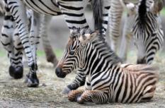 ROTTERDAM - Diergaarde Blijdorp in Rotterdam heeft onlangs gezinsuitbreiding gekregen. Zo werden er onder andere een girafje, een aapje en een zebra geboren. Zebra Aryanna. ANP PHOTO MARCO DE SWART