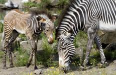 AMSTERDAM - Een pasgeboren Zebra zoekt samen met zijn moeder naar wat voedsel. Zebra Jambo werd op 6 juli in Artis geboren.  In de Amsterdamse dierentuin vindt momenteel een ware geboortegolf plaats. Naast de geboorte van het zebraatje is Artis de afgelopen tijd verblijd met de geboortes van een keizertamarin, zeeleeuwtje, babygorilla, vier makaken, twee nylgautjes en twee helmkasuarissen. ANP PHOTO MARCEL ANTONISSE